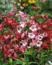 Flower - Penstemon - Crown Mix - 2500 Seed - Large Packet
