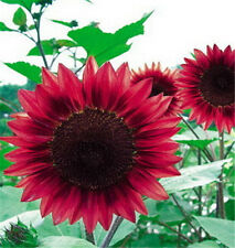 FD1535 1 Pack 15 Seeds Sunflower Seed red Fortune Flower Seed ✿