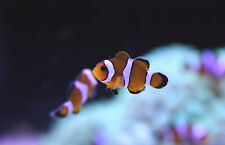 "Live Beginner Saltwater Fish - 1.5"" Mocha Clownfish - Captive Bred Nemo Clowns"