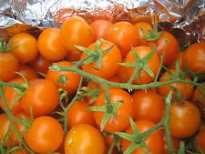 15 graines semences Tomates ORANGE BOURGOUIN  Tomaten méthode bio SEEDS