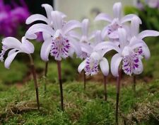 Pleione orchid mix (5) Near Blooming Size Bulbs, Species and Hybrids
