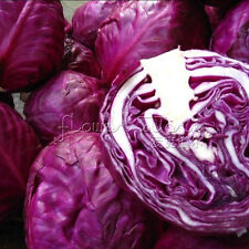 200 Seeds/Bag Freshly Picked Red Cabbage Seeds Easy care DIY Cooking TT132
