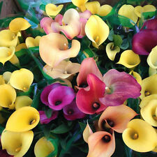 100PCS Amazing Bonsai Colorful Calla Lily Seeds Sweet Rare Plants Flowers new FT