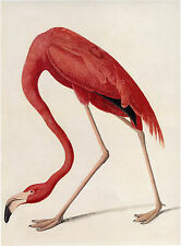 Audubon Reproductions: Watercolor Study - American Flamingo -  Fine Art Print
