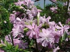 Seifen-Blume Duftkräuter Pflanzen für den Balkon Topf mehrjährig winterhart Duft