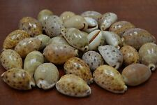 "40+ PCS ASSORT LARGE CYPRAEA LYNX COWRIE SEA SHELL 1 POUND 1 1/2""- 2"" #T-1402L"