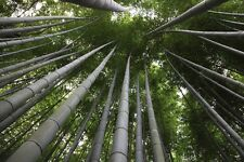10 x Moso bambù-Phyllostachys edulis Pubescens-GIGANTE Hardy BAMBOO semi