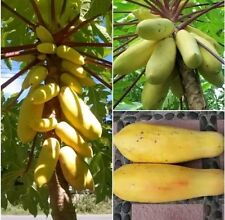 Papaya Yellow Gold 20 Heirloom Seeds, Delicious Sweet Unique, Seeds Very RARE