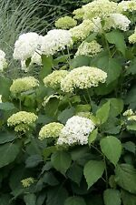 """Hydrangea Arborescens Annabelle  - 4 Inch Starter Plant, this is an """"End of the"""