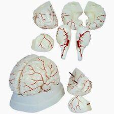 Gehirnmodell 8-teilig
