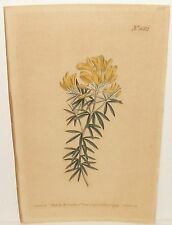 W.CURTIS GENISTA LINIFOLIA FLAX-LEAVED BROOM OLD HAND COLORED ENGRAVING