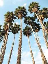 MEXICAN FAN PALM (Washingtonia robusta) 20 seeds