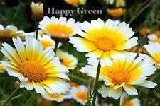 GARLAND DAISY MIX - Chrysanthemum coronarium - 400 seeds - Perennials flower