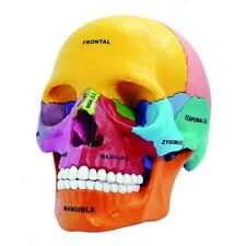 4D Vision Human Anatomical Models Didactic Exploded Skull Model US STOCK