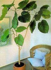 Ficus auriculata - Ein Zimmerbaum für dunkle Räume mit Riesenblättern