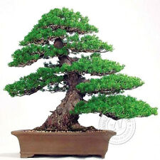 New 2Pcs Landscape Pine Tree Seeds Bonsai Potted Plant Fresh Air Gardening