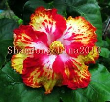"""Local Farmer """"Giant Hibiscus Exotic Coral Flowers 50 Seeds""""  Rose Red"""
