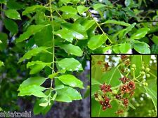 SandalWood -Tree -seeds 10 Nos  SHS-# 6990 #Sandal - Santalum expensive Tree