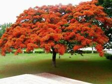 25 fresh seeds Delonix regia Tree Royal Poinciana (Flamboyant tree Flame tree)