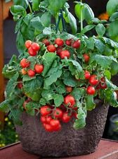 TOMATO - DWARF VARIETY - RED ROBIN - 100 FINEST SEEDS