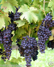 Live Sweet Black Grapes Vine fruit Plant-1 Healthy Plant - Pack In 1 Pot
