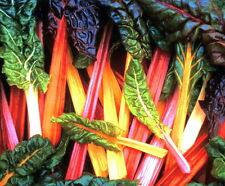 Bright Lights Swiss Chard Seeds - 1.2 grams