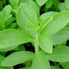 50 STEVIA Rebaudiana SWEETLEAF Sugar Herb Flower Seeds + Gift & Comb S/H