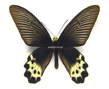 Unmounted Butterfly/Papilionidae - Atrophaneura priapus, male, Indonesia, A1/A-