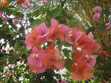 Bougainvillea  Orange Pink  ,STUNNING! 8+ cuttings