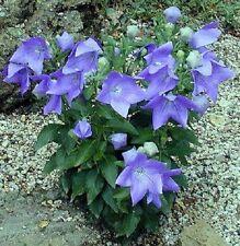 Die Prachtglocke Samen blühende Pflanze Blattpflanzen für das Fenster den Garten