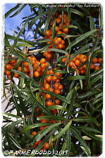 Hippophae rhamnoides 'Sea Buckthorn' 45+ SEEDS