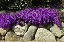 50+ AUBRIETA BRIGHT PURPLE ROCK CRESS FLOWER SEEDS / PERENNIAL /  DEER RESISTANT