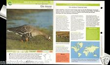 Oie rieuse - Anser albifrons Greater White-fronted Goose FICHE OISEAU BIRD