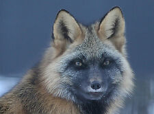 Cross Fox Taxidermy Reference Photo Cd
