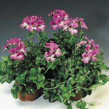 15 Seeds Film Coated Tornado Bicolor Duet Geranium Seeds Trailing Geranium