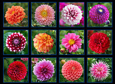 Digital Garden Panel (HD), Rich Color, Individual Dahlias, Elizabeth's Studios