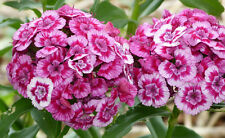 100 graines OEILLET DE POETE(Dianthus Barbatus)G261 SWEET WILLIAM SEEDS SEMILLAS