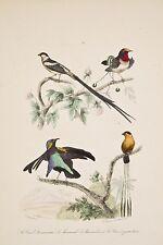 Gravure aquarellée XIX° Oiseaux Vieux Dominicain Manucades Veuve à 4 Brins