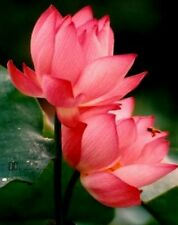 INDIAN LOTUS RED FLOWER - Nelumbo nucifera - Kamal/Sacred Water lily - 8 Seeds.