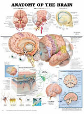 Anatomy of the Brain Anatomical Chart Poster Print Poster Print, 20x26