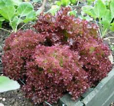 LETTUCE, RED LEAF, LOLLA ROSA, HEIRLOOM, ORGANIC 25+ SEEDS, CRISP, DARK LEAVES