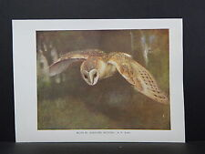 Birds British c 1930 Original Color Book Plate S5#095 Barn-Owl hunting