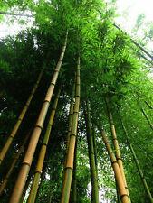 Goldener Bambus / Geschenk für Weihnachten Besondere Weihnachtsgeschenke / Samen