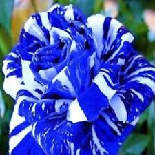 30pcs/lot Rare Meteor Shower Cotyloid Rose Garden Flower Plants Seeds 3 Colors