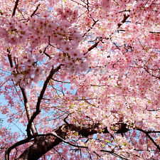 30 Japanese Cherry Tree Pink Cloud Oriental Sweet Prunus Serrulata Flower Seeds