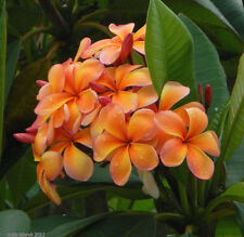 3 graines de FRANGIPANIER ORANGE (Plumeria Rubra ORANGE CARAMEL)H421 SEEDS SEMI