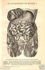1898= ORGANI INTERNI = MEDICINA = Stampa Antica = Old Engraving