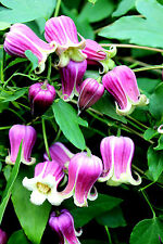 Waldrebe Clematis texensis Buckland Beauty 60-80cm Sommerblüher