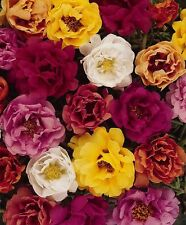 50+ MOSS ROSE TEQUILA MIX  PORTULACA  ANNUAL SUCCULENT GROUNDCOVER FLOWER SEEDS