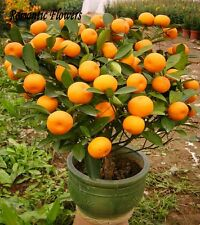 Rare Bonsai Murcott Mandarin Orange  5 Seeds, Home Bonsai plant seeds